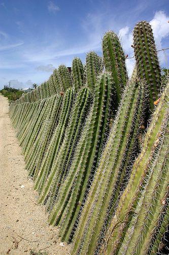 clôture de cactus vivante