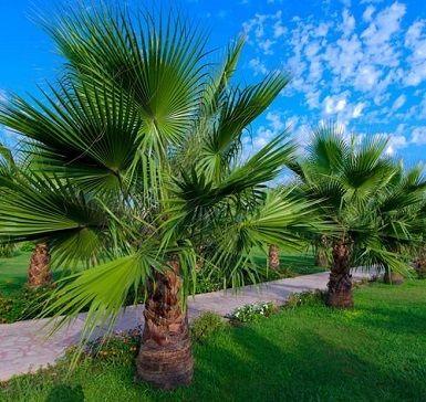 1585970594 402 Le palmier a phenix Roebelenii comment sen occuper