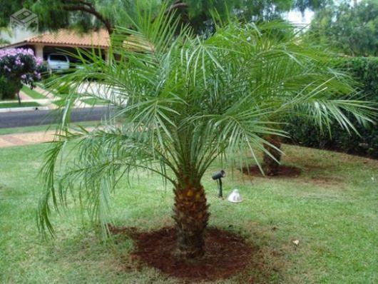 le palmier phénix