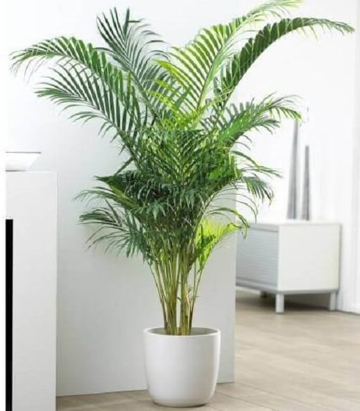 plantes de bambou d'arec