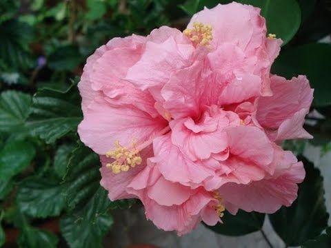 1622052217 943 Fleur dhibiscus comment prendre soin de lhibiscus