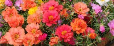 1622167619 776 Fleur de onze heures comment prendre soin de onze heures