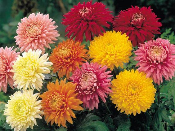1622282925 152 Comment prendre soin du chrysantheme etape par etape