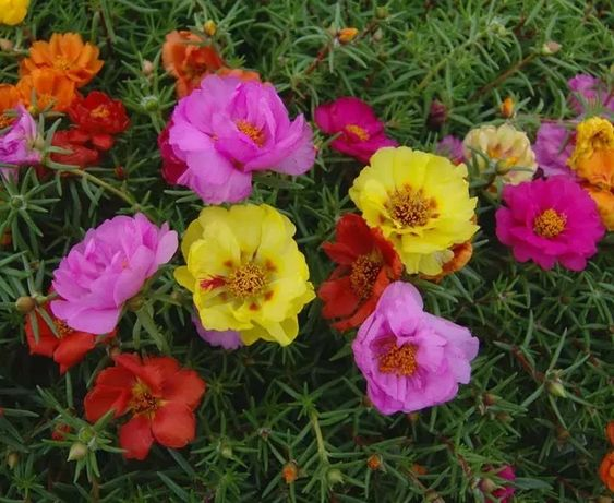fleur de onze heures
