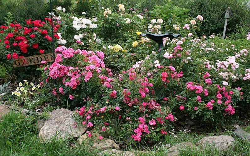Rose canadienne