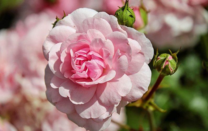 Розы для начинающих садоводов: самые неприхотливые сорта