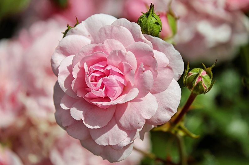 Roses pour jardiniers débutants: les variétés les moins prétentieuses